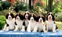 english_springer_pups