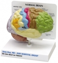 custom_brain_model